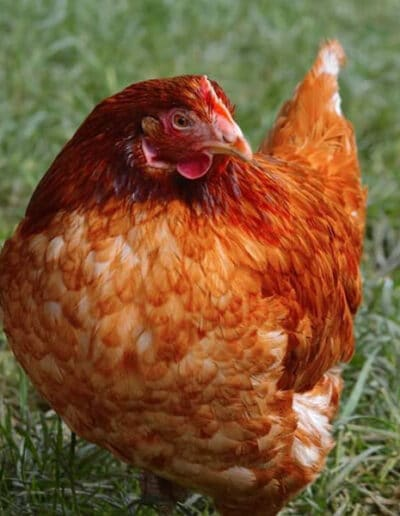 Give A Hen A Home - 4